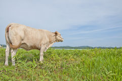 Asian cow Royalty Free Stock Photography
