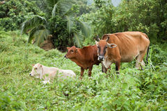 Asian cow Stock Images