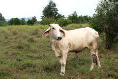Asian cow grassing in a field ,Thailand. Use for background design royalty free stock photography