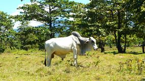 Asian cow grazing in a meadow . Royalty Free Stock Photography
