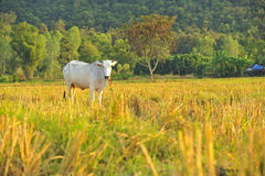 Asian cow in green field Royalty Free Stock Photography