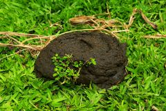 Asian cow poops. Asian cow poop with flies in Iligan City Philippines Stock Images