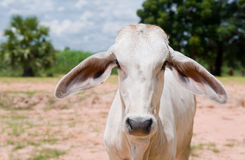 Asian cow staring at you. Stock Photo