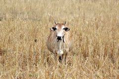 Asian cow in yellow field. Photo of asian cow in yellow field Stock Photos