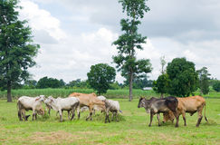 Asian cows in the field Royalty Free Stock Photos