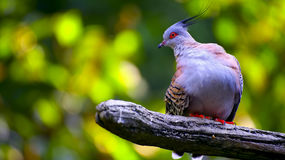 Asian crested pigeon Stock Photography