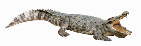 Asian crocodile Stock Images