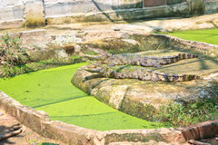 Asian crocodile in farm Royalty Free Stock Images