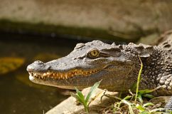Asian crocodile Royalty Free Stock Photography