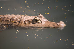 Asian crocodile in river water. An asian crocodile resting in river water, India Stock Photography