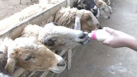 Asian cute child feeding sheep and goat from his hands, stock video footage