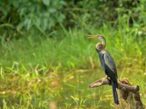 Asian Darter sitting on a branch. Asian Darter or the snake bird is stork sitting on a branch / wood, relaxing stock images