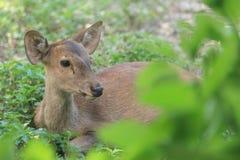 Asian deer close up Royalty Free Stock Photo