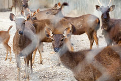 Asian deer group Stock Images