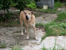 Asian dog bark and standing on cement ground. Cream color dog , brown eyes and black  nose Royalty Free Stock Image