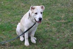 Asian Dog Royalty Free Stock Photos
