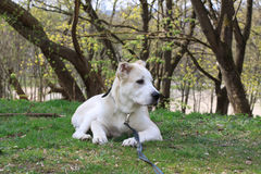 Asian Dog. Central Asian Shepherd Dog close up portrait Stock Photo