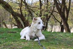Asian Dog Stock Photo