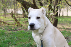 Asian Dog. Central Asian Shepherd Dog close up portrait Stock Photography