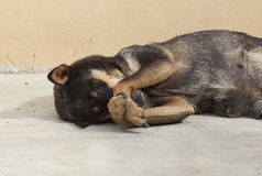 Asian dog laying down in overturn position Stock Images