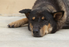 Asian dog laying down in overturn position Royalty Free Stock Photos