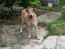 The asian dog stare and standing on cement ground. Cream color dog , brown eyes and black  nose Stock Photo