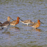 Asian Dowitcher Stock Photos