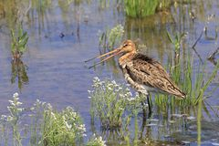 Asian dowitcher Royalty Free Stock Photos