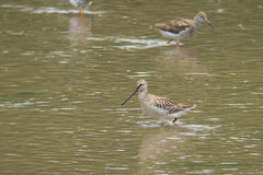 Asian Dowitcher feeding on mud flats Royalty Free Stock Photo