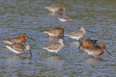 Asian Dowitcher Royalty Free Stock Images