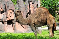 Asian Dromedary camel Royalty Free Stock Photo