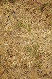 Asian dry grass Royalty Free Stock Photography