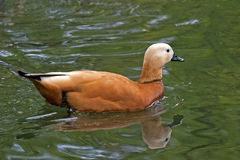 Asian duck. A asian duck in a pound Stock Photography