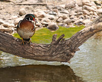 Asian Duck Royalty Free Stock Photo