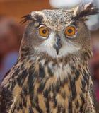 Asian Eagle Owl Royalty Free Stock Photo
