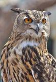 Asian Eagle Owl Stock Photo
