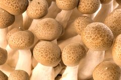 Asian Edible Shimeji Mushrooms Stock Photography