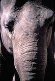 Asian Elaphant Royalty Free Stock Photography