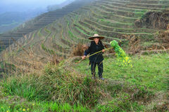 Asian elderly man, a peasant farmer shepherd, among rice terrace Stock Photos
