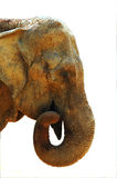 Asian Elephant. Asian elephant head on white background Stock Image