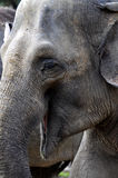 Asian elephant. In zoo Praha Royalty Free Stock Photo