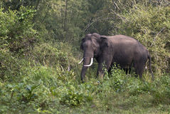 Asian elephant. Shot in the Wynad sanctuary of Kerala state of India Royalty Free Stock Photos