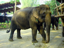 Asian elephant. In a village in thai jungle Stock Photos