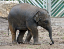 Asian Elephant. Baby asia elephant Stock Images