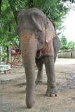 Asian Elephant. An Asian elephant in Kanchanburi, Thailand Stock Images