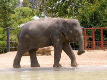 Asian Elephant. By pool in zoo Royalty Free Stock Photo