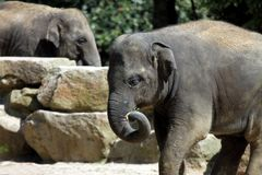 Asian elephant Royalty Free Stock Image