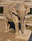 Asian elephant. (Elephas maximus) covered with dust and mud Royalty Free Stock Images