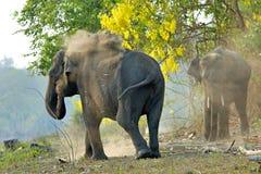 Asian Elephant. Elephant having a dust bath on the banks of the Kabini River at Nagarhole National Park, Karnataka, India Stock Photography