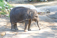 Asian elephant. Young asian elephant in zoo Stock Photo